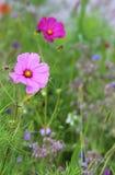 波斯菊花在草甸 库存图片