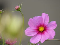 波斯菊花是由花容易地美化庭院在夏天期间的一棵精美植物 免版税图库摄影