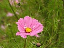波斯菊花是由花容易地美化庭院在夏天期间的一棵精美植物 免版税库存图片