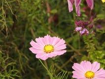 波斯菊花是由花容易地美化庭院在夏天期间的一棵精美植物 图库摄影