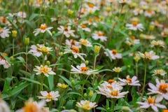 波斯菊花是白色的 库存照片