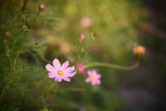 波斯菊花有被弄脏的背景和选择聚焦在onl 库存照片