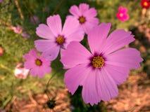 波斯菊花有被弄脏的背景 免版税库存图片