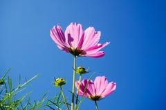 波斯菊花波斯菊Bipinnatus在庭院里 图库摄影