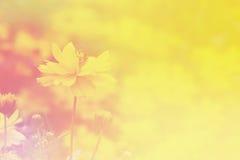 波斯菊花淡色模糊的背景 免版税图库摄影