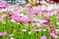波斯菊花白色桃红色 免版税库存图片