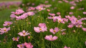 波斯菊花的美丽的桃红色瓣的领域在绿色叶子和小芽进展在一个公园,被弄脏的背景的 库存图片