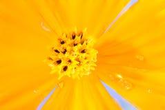 波斯菊花的花粉接近的焦点  免版税库存照片