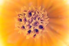 波斯菊花的花粉接近的焦点  免版税库存图片