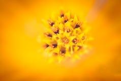 波斯菊花的花粉软的宏观焦点  库存图片