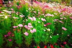 波斯菊花的颜色 库存图片
