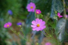 波斯菊花粉红色 免版税图库摄影