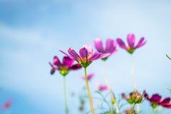 波斯菊花粉红色 库存图片
