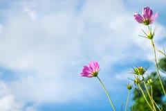 波斯菊花粉红色 免版税库存图片