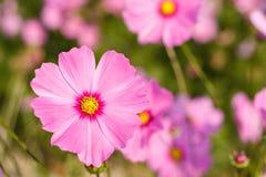 波斯菊花,五颜六色的花田在冬天 库存照片