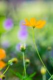波斯菊花,在雨以后的橙色花。 免版税库存照片