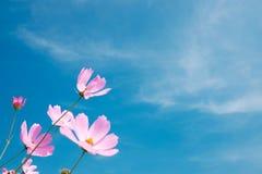 波斯菊花(波斯菊Bipinnatus)有蓝天背景(Sele 免版税图库摄影