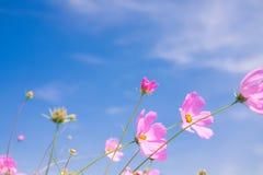 波斯菊花(波斯菊Bipinnatus)有蓝天背景(Sele 免版税库存照片