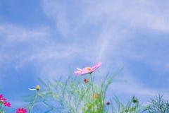 波斯菊花(波斯菊Bipinnatus)有蓝天背景(Sele 免版税库存图片