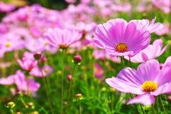 波斯菊,墨西哥翠菊,紫色花 库存照片