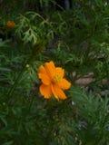 波斯菊,橙色的Comos spp 免版税库存图片