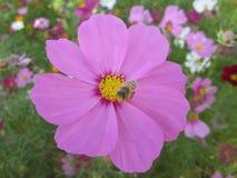 波斯菊bipinnatus和蜂在花节日在台湾 免版税图库摄影