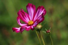 波斯菊Bipinnatus开花深深-红色-喝酒与白色条纹 库存图片