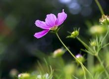 波斯菊bipinnatus花的关闭在花园里发光 免版税库存照片