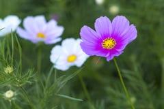 波斯菊bipinnatus花的关闭在花园里发光 免版税图库摄影