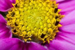 波斯菊bipinnatus,共同地称庭院波斯菊或墨西哥翠菊 免版税图库摄影