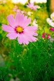 波斯菊bipinnatus 免版税库存照片
