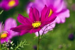 波斯菊bipinnatus 库存图片