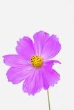 波斯菊bipinnatus 图库摄影