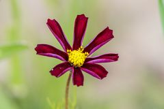 波斯菊bipinnatus 免版税库存图片