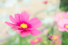 波斯菊flowrs在公园,桃红色flowrs在有sunli的庭院里 免版税库存图片