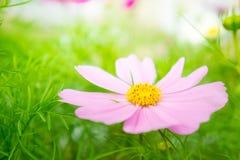波斯菊flowrs在公园,桃红色flowrs在有sunli的庭院里 库存图片