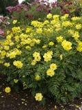 波斯菊sulphureus瓢虫柠檬06 免版税图库摄影