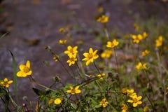 波斯菊suplhur植物 库存照片