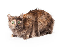 波斯语布朗和橙色猫 库存图片