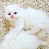 波斯语的小猫 免版税图库摄影