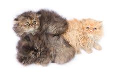 波斯语的猫 免版税库存图片