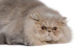 波斯语11个猫的月 免版税库存照片
