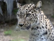 波斯豹子,豹属pardus saxicolor画象  库存图片