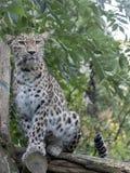 波斯豹子,豹属pardus saxicolor画象  免版税库存照片