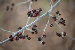 波斯铁木树树红色花的细节  免版税库存照片
