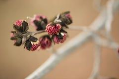 波斯铁木树树红色花的细节  库存图片