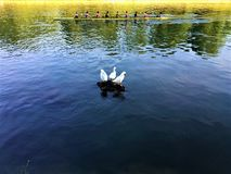 波河、白色鸭子和划船在都灵市,意大利 免版税库存照片