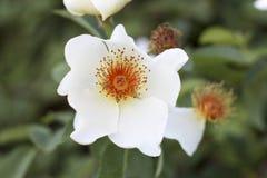 波特兰玫瑰园 图库摄影