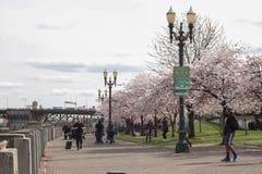 波特兰,俄勒冈,美国- 2017年3月:走沿江边自行车足迹的人们作为樱桃树在街市波特兰俄勒冈开花  库存图片