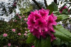 波特兰` s克里斯特尔里弗杜鹃花庭院 免版税库存图片